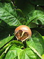 Medlar pome among leaves.jpg