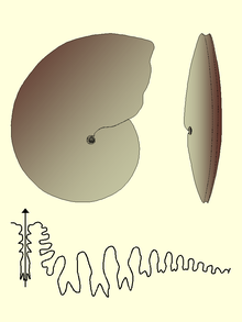 Medlicottia morphology suture.PNG