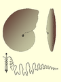 Medlicottia morphology suture.PNG