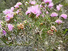Melaleuca carrii (leaves, flowers and fruits).JPG