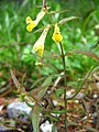 Melampyrum pratense - 3 (2005 07 19).jpg