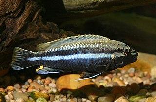 <i>Melanochromis auratus</i> species of fish