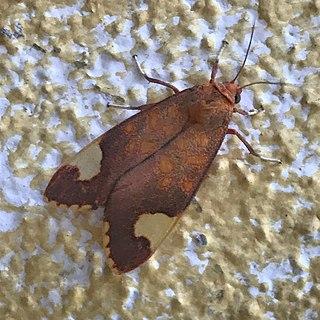 <i>Melese</i> Genus of moths