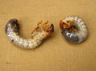 Larvy chrústa obyčajného dorastajú až do 4 cm, žijú v zemi a obžierajú korene rastlinám
