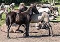 Merfeld, Wildpferdefang -- 2014 -- 0350.jpg