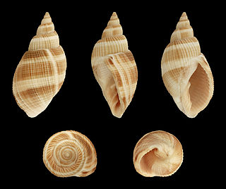 <i>Merica oblonga</i> Species of gastropod