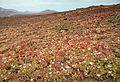 Mesembryanthemum crystallinum in malpais on Fuerteventura, Canary Islands.jpg
