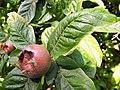 Mespilus germanica. Cadapanal.jpg