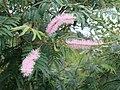 Mimosa verrucosa — João de Deus Medeiros 001.jpg