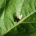 Minettia longipennis (36563982016).jpg
