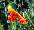 Momordica charantia . Bitter Melon 3 - Flickr - gailhampshire.jpg