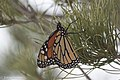 Monarch Butterfly (resting during migration) Rusty's Rodeo NM 2017-10-14 18-30-26 (37740575631).jpg