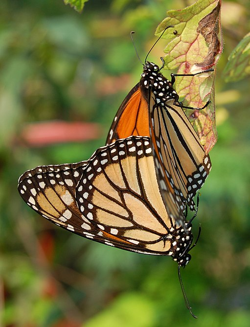 Monarch Butterfly Danaus plexippus Mating Vertical 1800px