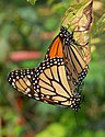 Monarch Butterfly Danaus plexippus Mating Vertical 1800px.jpg