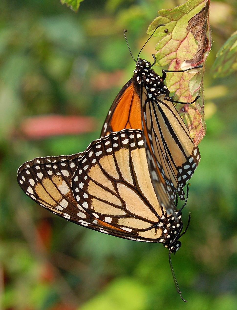 Monarch Butterfly Danaus plexippus Mating Vertical 1800px