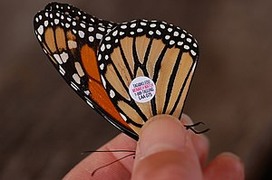 Monarch butterfly with a tracking tag