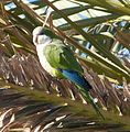 Monk Parakeet - Flickr - gailhampshire.jpg