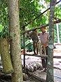 Monkey collecting coconut - vycvičená opice trhá kokosy - panoramio.jpg