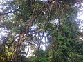 Monkey hill Takoradi.jpg