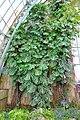 Monstera deliciosa - Laeken Royal Greenhouses - Royal Castle of Laeken - Brussels, Belgium - DSC07546.jpg