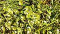 Montia perfoliata (Miner's lettuce) - Flickr - brewbooks.jpg