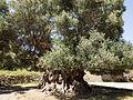 Monumental Olive tree near Kavousi (Crete) 01.jpg
