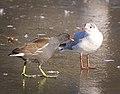 Moorhen vs gull (39940342884).jpg