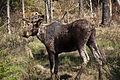 Moose (3544006789).jpg