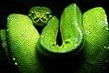 Morelia viridis.jpg