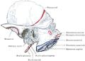 Morris' human anatomy (1898) - Fig 047.png
