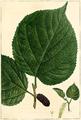 Morus rubra 158526.png