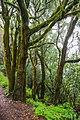 Mossy trees in the Garajonay National Park on La Gomera, Spain (48293805257).jpg