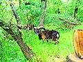 Mouflon - panoramio.jpg