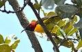 Mrs Gould's Sunbird Aethopyga gouldiae Bhutan by Dr. Raju Kasambe DSC 4609 (1).jpg