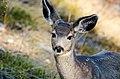 Mule Deer 3.jpg