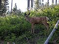 Mule Deer fawn along trail near Waterton Townsite - Flickr - Jay Sturner.jpg