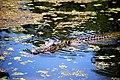 Munson Swamp alligator.jpg