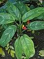 Murraya paniculata kz02.jpg