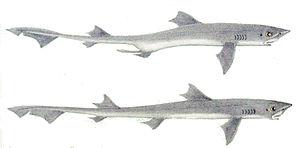 Gummy shark - Image: Mustelus antarcticus 1