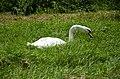 Mute swan foraging grass (2).jpg