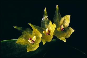 Myoxanthus octomeriae - Image: Myoxanthus octomeriae