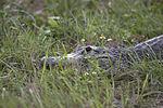 NASA Kennedy Wildlife - Alligator.jpg