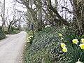 Narcissi by the roadside - geograph.org.uk - 418517.jpg