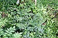 Nasa triphylla (Loasaceae) (29994314231).jpg