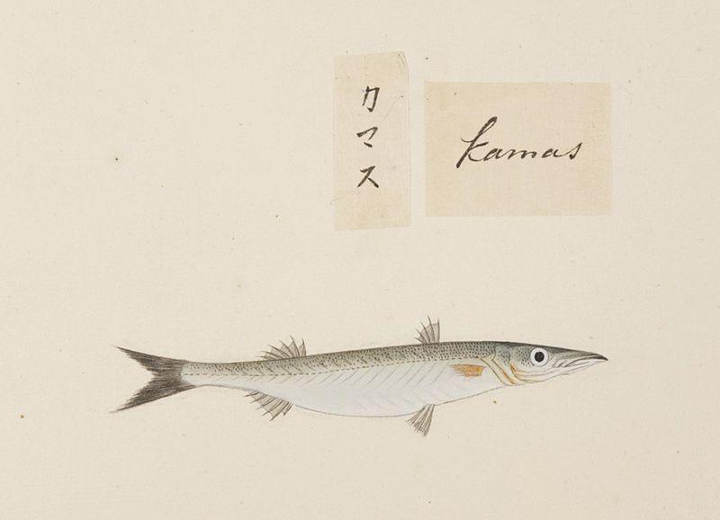 File:Naturalis Biodiversity Center - RMNH.ART.541 - A species of Sphyraena - Kawahara Keiga - 1823 - 1829 - Siebold Collection - pencil drawing - water colour.jpeg