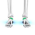 Navicular bone05.png