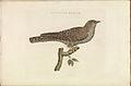 Nederlandsche vogelen (KB) - Cuculus canorus (326b).jpg