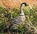 Nene Goose (Nenê Goose) (Nenê Duck) (36218831221).jpg
