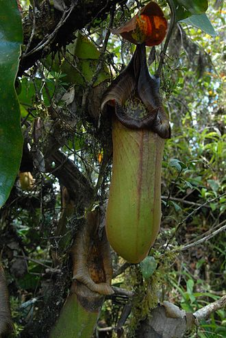 Nepenthes truncata - Image: Nepenthes truncata dark peristome