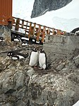 Nesting Gentoo at Estación Científica Almirante Brown (24590117832).jpg